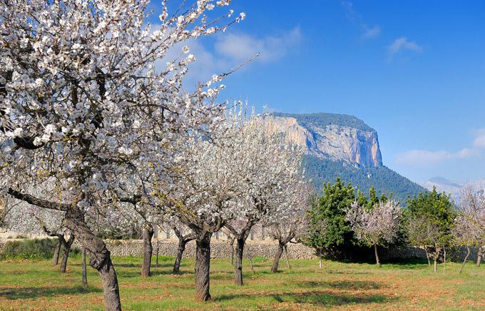 almond-trees-mallorca-theory4-com-06